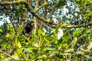 O macaco alfa aguardava a passagem do grupo em segurança.